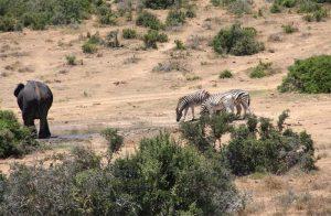 Zebras und ein einzelner Elefant an einem kleinen Wasserloch