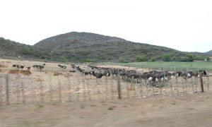 Tiere einer Straußenfarm