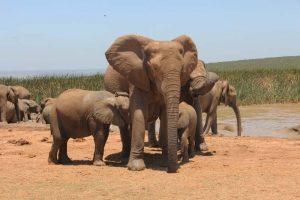 Elefantenkuh säugt zwei Junge