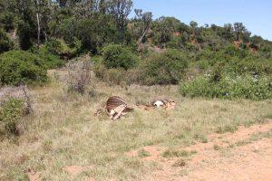 Das Skelett einer Antilope ist die einzige Spur, die uns auf Löwen hinweist